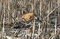 Sandhill Crane Nesting Series #5