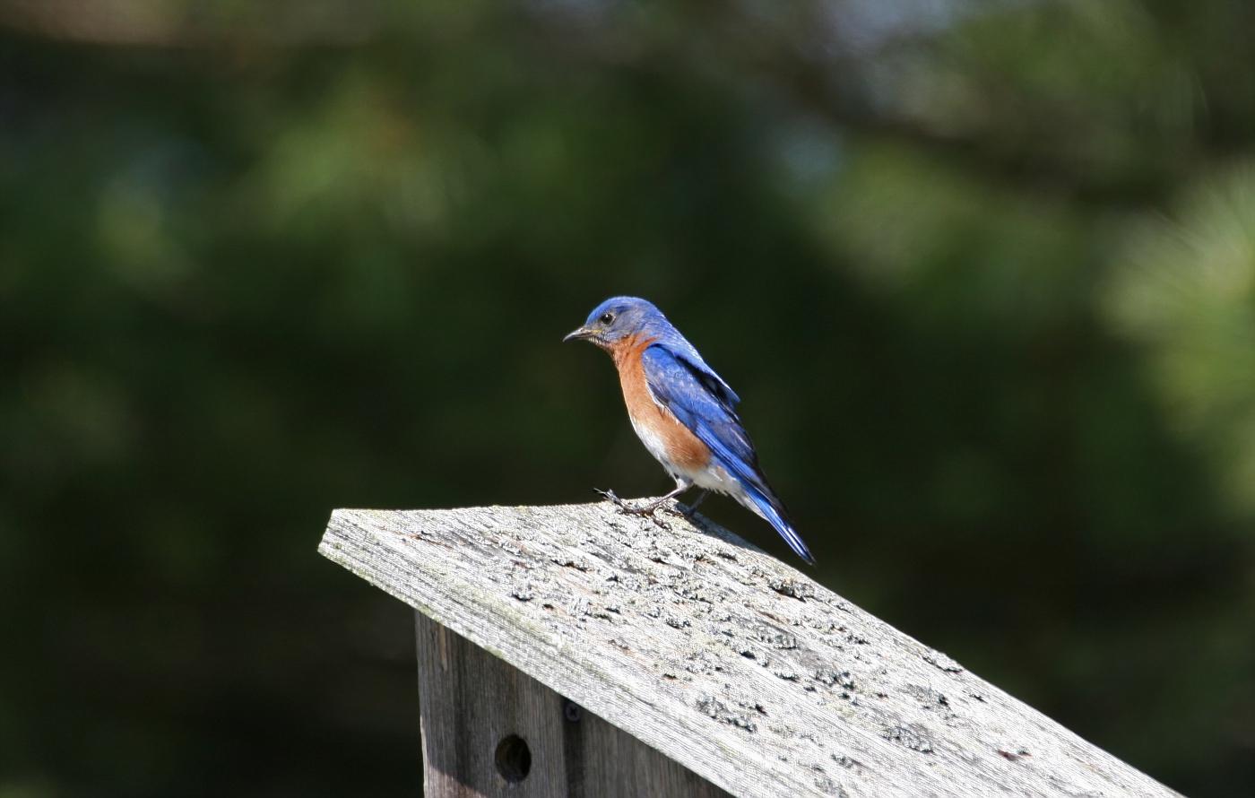 Male Eastern Bluebird #3