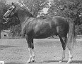 AALFOUR #7132 (Aaraf  x Aabella, by Mahomet) 1951 chestnut gelding bred by Ben Hur Farms/ Henry & Blanche Tormohlen; registered purebreds sired 1 registered purebred