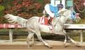 SUDDEN MISCHIEF grey stallion by By Golly