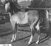 JUBILO #2466 (Caravan x La Plata) 1942 grey stallion bred by James E. Draper
