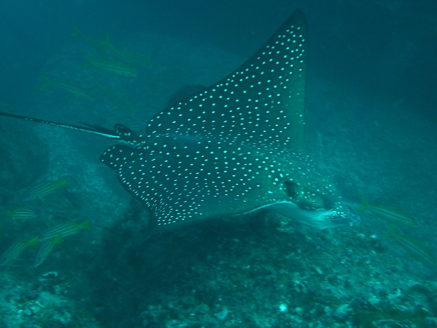 Beautiful Spotted Eagle Ray