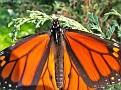 MonarchButterfly004