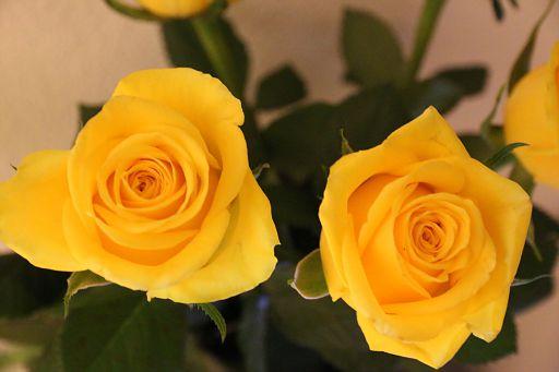 Yellow Roses 2018 September (1)