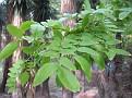 Gleditsia sinensis (4)