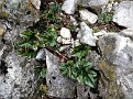 Cyclamen hederifolium (4)-001