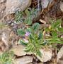 Acinos arvensis (2)