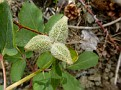 Paeonia mascula (7)