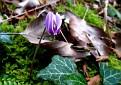 Cyclamen hederifolium tornos (1)