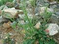 Limonium (6)