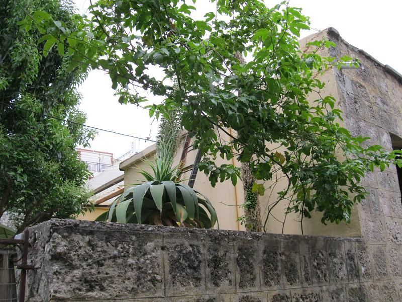 Agave attenuata - Rhodos 05 2011 (1)
