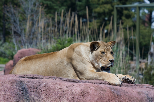 80418_0098 lioness.jpg