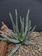 Aloe versicolor
