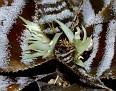 Cryptanthus