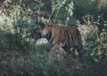 Bandhavgarh 070