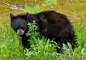 800px-Black Bear Yearling