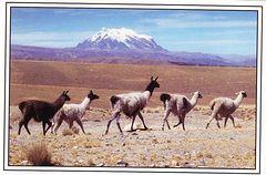 Bolivia - LLAMA NA