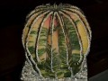 Uebelmannia pectinifera variegata