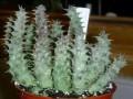 Huernia macrocarpa-cerasina