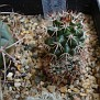 Mammillaria voburensis