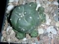 Lophophora jourdaniana ( Lophophora williamsii )