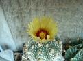 Astrophytum asterias cv 'HANAZONO'