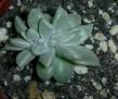 Graptopetalum paraguayense cristata