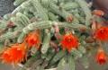 Chamaecereus silvestrii