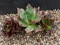 Echeveria affinis variegate