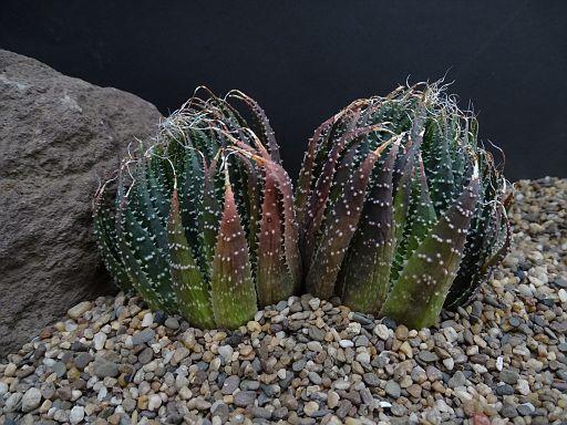 Aloe 'Coral Fire'