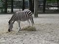 Equus burchelli chapmani  Chapman Zebra
