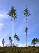 Standhafter Rest vom Fichtenwald