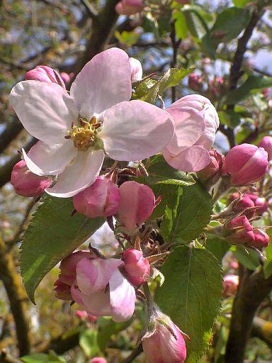 Die ersten Apfelblüten sind erwacht