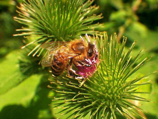 Honig sammeln