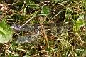 Twelve-spotted Skimmer 10