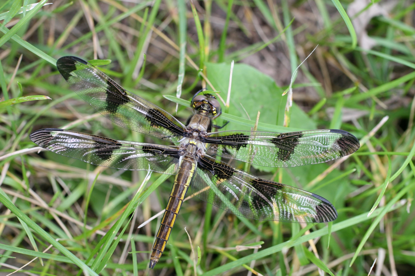 Newly Emerged Twelve-Spotted Skimmer #3