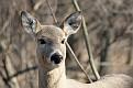 Spring Deer 5