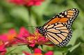 Monarch on Flowers