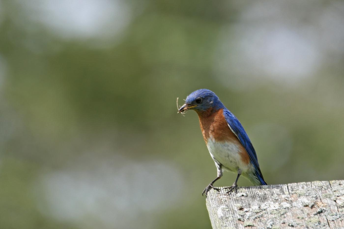Male Bluebird #16