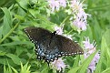 Spicebush Swallowtail #4