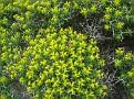 Euphorbia acanthothamnos (12)