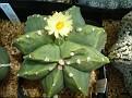Astrophytum myriostigma cv  HEKIRAN