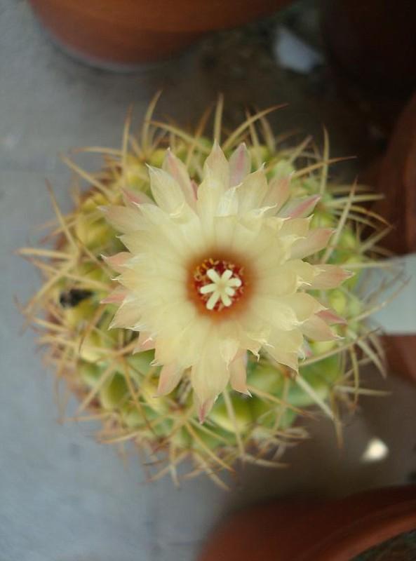 Coryphantha borwigii - Coryphantha delaetiana (1)
