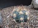 Echinocactus horizontalonius El Hundido, Mexico