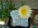 Astrophytum myriostigma Onzuka V pattern