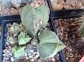 Astrophytum myriostigma tricostatum v nudum Japan hybrid