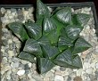 Haworthia bayeri -PE0184
