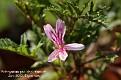 Pelargonium pseudoglutinosum