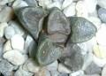 Haworthia bruynsii,steytlerville springbokvlakte