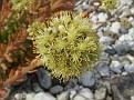 Petrosedum sedifolium